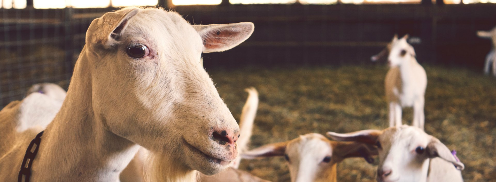 """One of the common English phrases we mis-say is """"a scapegoat"""", not """"an escape goat""""!"""