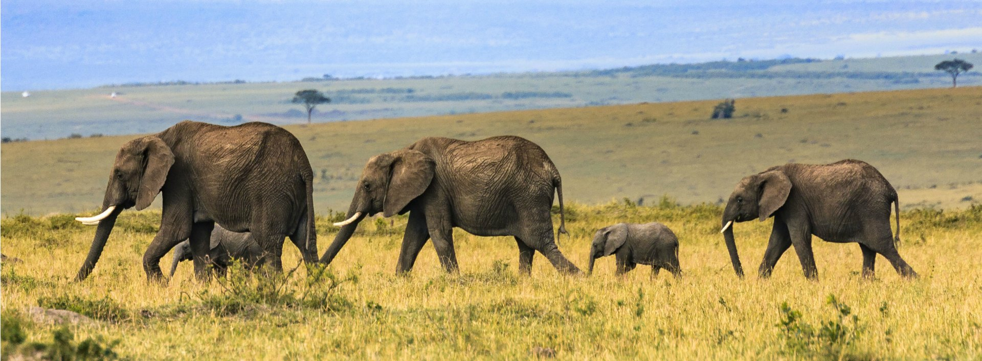 Both big and a small elephant walking in a row in the desert.