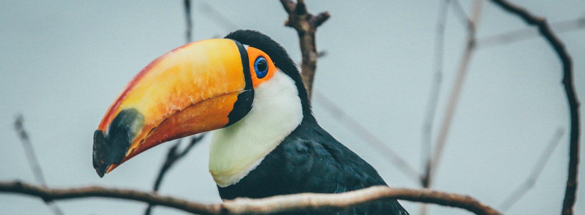 """Gute Wortspiele sind schwer zu finden: Dies ist ein Tukan, nicht """"two can""""."""