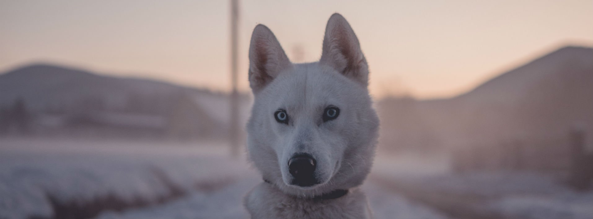 White husky dog in winter scene: Homonyms in English