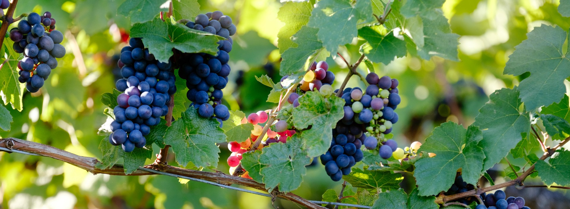 Close up of bunches of red grapes hanging on a vine- common English phrases