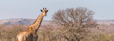 Arabic loan words: a giraffe stands by a bare tree on a wide open plain.