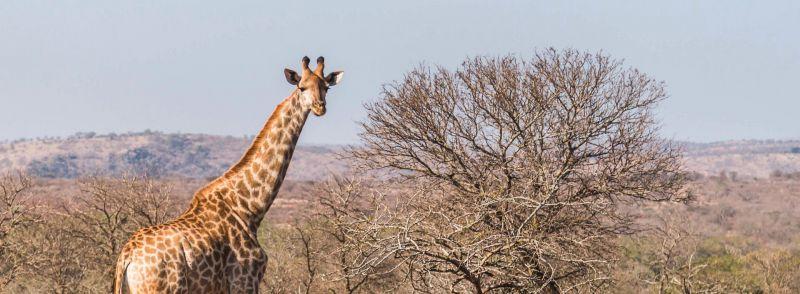 Arabic loan words: a giraffe stands by a bare tree on a wide open plain.