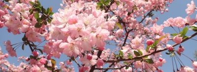 "A tree blooms with pink flowers in front of a clear blue sky. The word ""to bloom"" is some vocabulary for spring that you'll need."