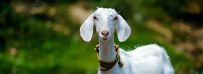 "A white goat stands in a field. ""That really gets my goat"" is one of the most common animal idioms in English."