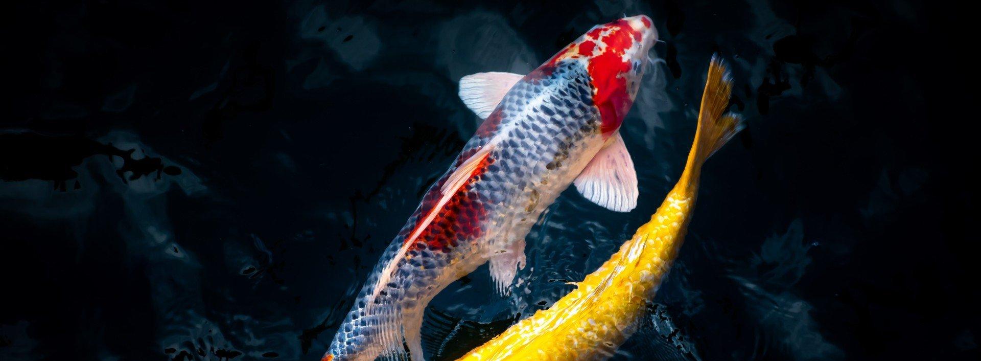 Antonyme im Englischen: Zwei verschiedenfarbige Koi-Fische bewegen sich im dunklen Wasser in entgegengesetzter Richtung.