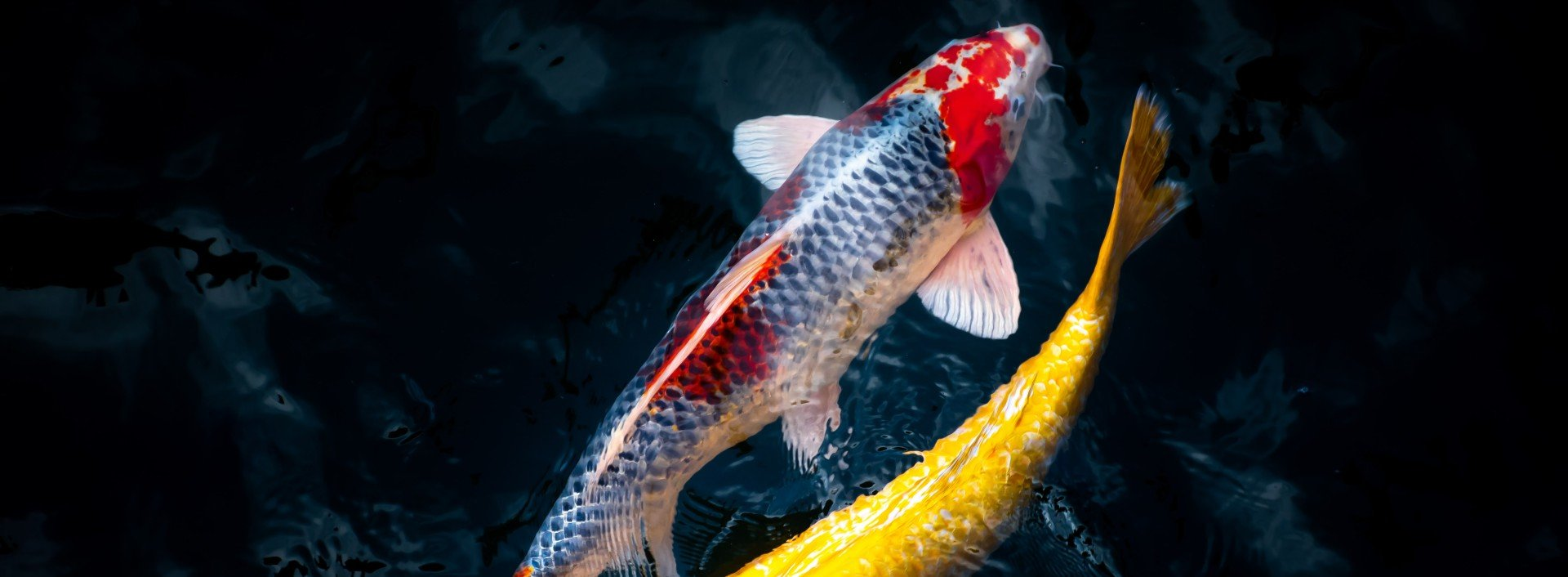 Antonyms in English: two different colored koi fish travel in opposite direction in dark water.